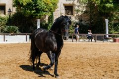 Cordoba, Spain - April 12, 2017: Beautiful black andalusian horse also known as Pure Spanish Horse  in Historic Royal Stables of Cordoba.